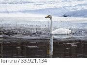 Whooper swan, Cygnus cygnus swimming, Gällivare, Swedish Lapland, Sweden. Стоковое фото, фотограф Mats Lindberg / age Fotostock / Фотобанк Лори