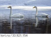 Two Whooper swans, Cygnus cygnus swimming, Gällivare, Swedish Lapland, Sweden. Стоковое фото, фотограф Mats Lindberg / age Fotostock / Фотобанк Лори