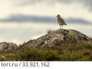 European golden plover, Pluvialis apricaria standing on a rock on Mount Dundret, Gällivare, Swedish Lapland, Sweden. Стоковое фото, фотограф Mats Lindberg / age Fotostock / Фотобанк Лори