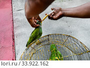 Купить «A Colombian bird vendor force-feeds an Amazon parrot, injecting liquid food into his beak, in the bird market in Cartagena, Colombia, 16 April 2018. Keeping...», фото № 33922162, снято 16 апреля 2018 г. (c) age Fotostock / Фотобанк Лори