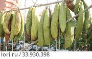 Купить «Ripe Luffa fruits drying on sun at garden», видеоролик № 33930398, снято 29 октября 2019 г. (c) Яков Филимонов / Фотобанк Лори