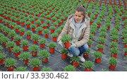 Купить «Female florist cultivating Argyranthemum percussion in greenhouse», видеоролик № 33930462, снято 14 июля 2020 г. (c) Яков Филимонов / Фотобанк Лори