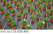 Купить «Rows of dimorfoteca plants in pots in greenhouse, no people», видеоролик № 33930466, снято 13 июля 2020 г. (c) Яков Филимонов / Фотобанк Лори
