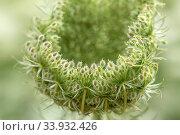 Купить «Wilde Möhre, Daucus carota subsp. carota, Blüte, Blumenwiese, Bild, Foto, RoHa-fotothek, Bayern, Oberbayern, Wiese, Blumen, bluehend, blühend», фото № 33932426, снято 6 июля 2020 г. (c) age Fotostock / Фотобанк Лори