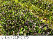 Field planted with red mustard. Стоковое фото, фотограф Яков Филимонов / Фотобанк Лори