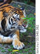 Sumatran tiger laying. Стоковое фото, фотограф Иван Михайлов / Фотобанк Лори