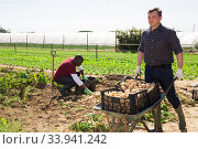 Hired worker transport potatoes in a garden wheelbarrow. Стоковое фото, фотограф Яков Филимонов / Фотобанк Лори