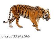 Купить «Great tiger in the nature habitat», фото № 33942566, снято 4 августа 2020 г. (c) Яков Филимонов / Фотобанк Лори