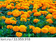 A flower bed of bright, fragrant, beautiful, orange, luxuriantly blooming marigolds growing in the garden under the open sky in the open field. A plant with healing, Стоковое фото, фотограф Nataliia Zhekova / Фотобанк Лори