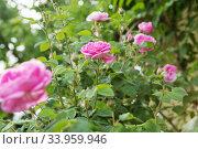 Купить «tea rose bush. Rose oil production.», фото № 33959946, снято 12 мая 2018 г. (c) Nataliia Zhekova / Фотобанк Лори