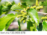 unripe mulberries on the branch of tree. Стоковое фото, фотограф Nataliia Zhekova / Фотобанк Лори