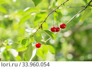 Ripening cherries on a tree in the garden on the farm. Стоковое фото, фотограф Nataliia Zhekova / Фотобанк Лори