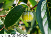 Купить «Ripening persimmon fruits growing on a persimmon tree branch», фото № 33960062, снято 13 сентября 2015 г. (c) Nataliia Zhekova / Фотобанк Лори