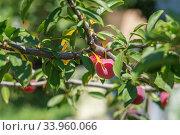 Red ripe plums on the tree. Стоковое фото, фотограф Nataliia Zhekova / Фотобанк Лори