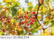 Ruby Seedless Grape. Стоковое фото, фотограф Nataliia Zhekova / Фотобанк Лори