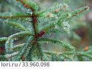 Spruce tree after the rain. A bright evergreen pine tree green needles branches with rain drops. Fir-tree with dew, conifer, spruce close up, blurred background. Стоковое фото, фотограф Nataliia Zhekova / Фотобанк Лори