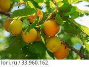 Купить «Ripe sweet apricot fruits growing on a apricot tree branch in orchard», фото № 33960162, снято 24 июня 2017 г. (c) Nataliia Zhekova / Фотобанк Лори