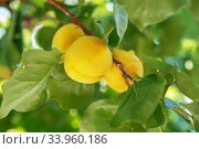 Купить «Ripe sweet apricot fruits growing on a apricot tree branch in orchard», фото № 33960186, снято 24 июня 2017 г. (c) Nataliia Zhekova / Фотобанк Лори