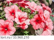 Купить «Petunia hybrida in garden. Landscape design», фото № 33960210, снято 2 мая 2017 г. (c) Nataliia Zhekova / Фотобанк Лори
