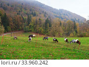 Herd of goats and sheep grazing in the mountain alpine village. A small herd of goats feeding at the autumn day. Animal husbandry, animal breeding. Стоковое фото, фотограф Nataliia Zhekova / Фотобанк Лори