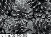 Closeup background texture of dried pine cones. Стоковое фото, фотограф Nataliia Zhekova / Фотобанк Лори