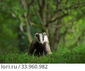 European badger (Meles meles) cub in grassland with woodland behind. Scotland, UK. June. Стоковое фото, фотограф Andy Rouse / Nature Picture Library / Фотобанк Лори