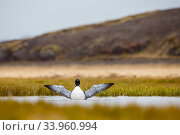 Купить «Common Loon (Gavia immer) flapping wings in water, Iceland, May.», фото № 33960994, снято 3 июля 2020 г. (c) Nature Picture Library / Фотобанк Лори