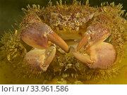 Bristly Crab. Hairy crab (Pilumnus hirtellus). Amplexus. Mating. Male fertilizating female. Eastern Atlantic. Galicia. Spain. Europe. Стоковое фото, фотограф Marevision / age Fotostock / Фотобанк Лори
