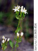 Купить «Common centaury (Centaurium erythraea), white variety in flower, Brookwood Cemetery, Surrey, England, August.», фото № 33969454, снято 3 августа 2020 г. (c) Nature Picture Library / Фотобанк Лори