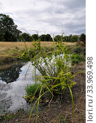 Pale galingale (Cyperus eragrostis) in flower,  beside River Wandle, Wandle Park, Croydon, Surrey, England, August. Стоковое фото, фотограф Linda Pitkin / Nature Picture Library / Фотобанк Лори