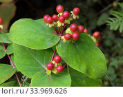Купить «Tutsan (Hypericum androsaemum), berries Brookwood Cemetery, Surrey, England, August.», фото № 33969626, снято 3 августа 2020 г. (c) Nature Picture Library / Фотобанк Лори