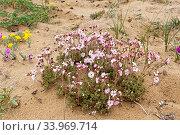 Flowers (Ferulopsis hystrix) on lakeshore, Pimenov , Lake Baikal, Siberia, Russia. June. Стоковое фото, фотограф Olga Kamenskaya / Nature Picture Library / Фотобанк Лори