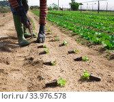 Купить «Planting lettuce seedlings», фото № 33976578, снято 13 мая 2020 г. (c) Яков Филимонов / Фотобанк Лори