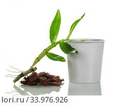 Купить «A young sprout of dendrobium orchid next to a pot and soil for transplant. Close-up isolated on  white.», фото № 33976926, снято 14 мая 2020 г. (c) Сергей Молодиков / Фотобанк Лори