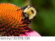 Купить «Golden Northern Bumblebee on a cone flower.», фото № 33978130, снято 14 июля 2020 г. (c) age Fotostock / Фотобанк Лори