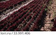Rows of young red lettuce growing on large plantation on spring day. Popular leafy vegetable crop. Стоковое видео, видеограф Яков Филимонов / Фотобанк Лори