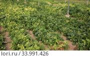 Купить «Plantation of fresh spinach in orangery», видеоролик № 33991426, снято 29 октября 2019 г. (c) Яков Филимонов / Фотобанк Лори