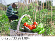 Купить «Basket with harvest of vegetables in garden, man professional gardener», фото № 33991894, снято 25 мая 2020 г. (c) Яков Филимонов / Фотобанк Лори