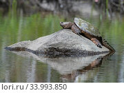 Snapping turtle (Chelydra serpentina) resting on rock,  Acadia National Park, Maine, USA. August. Стоковое фото, фотограф George Sanker / Nature Picture Library / Фотобанк Лори