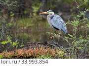 Купить «Great blue heron (Ardea herodias) on muskrat lodge. Acadia National Park, Maine, USA. May.», фото № 33993854, снято 4 июля 2020 г. (c) Nature Picture Library / Фотобанк Лори
