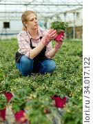 Купить «Woman gardener holding pot with tomatoes seedling in sunny greenhouse», фото № 34017122, снято 9 апреля 2019 г. (c) Яков Филимонов / Фотобанк Лори