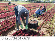 African-american farmer collects and carries boxes red lettuce. Стоковое фото, фотограф Яков Филимонов / Фотобанк Лори