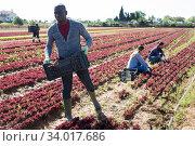 African-american worker harvesting red lettuce. Стоковое фото, фотограф Яков Филимонов / Фотобанк Лори