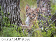 Portrait of a wild Bobcat (Lynx rufus) kitten in a tree, Texas, USA. September. Стоковое фото, фотограф Karine Aigner / Nature Picture Library / Фотобанк Лори