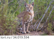 Portrait of a wild male Bobcat (Lynx rufus), Texas, USA. September. Стоковое фото, фотограф Karine Aigner / Nature Picture Library / Фотобанк Лори