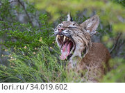 Portrait of a wild, yawning female adult Bobcat (Lynx rufus), Texas, USA. September. Стоковое фото, фотограф Karine Aigner / Nature Picture Library / Фотобанк Лори