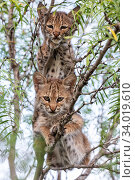 Portrait of two wild Bobcat (Lynx rufus) kittens in a tree, Texas... Стоковое фото, фотограф Karine Aigner / Nature Picture Library / Фотобанк Лори