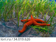 Starfish (Echinaster sepositus) in seagrass bed, Tenerife, Canary Islands. Стоковое фото, фотограф Sergio Hanquet / Nature Picture Library / Фотобанк Лори