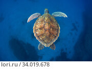Купить «Green sea turtle (Chelonia mydas) Tenerife, Canary Islands.», фото № 34019678, снято 11 июля 2020 г. (c) Nature Picture Library / Фотобанк Лори