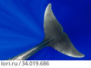 Pilot whale (Globicephala macorhynchus) close-up of submerged adult. Tenerife, Canary Islands. Стоковое фото, фотограф Sergio Hanquet / Nature Picture Library / Фотобанк Лори